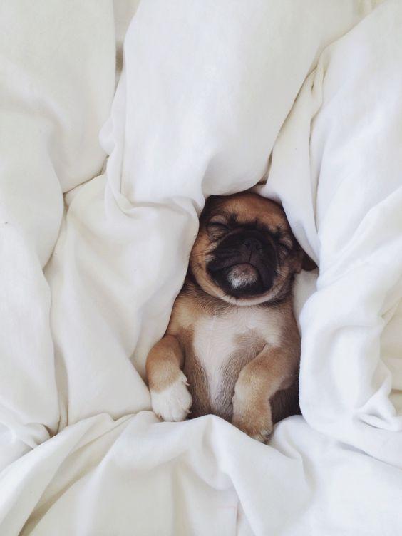 cute bulldog sleepy
