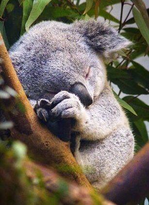 cute picture of a koala sleeping