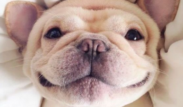 cute picture of a puppy bulldog smiling