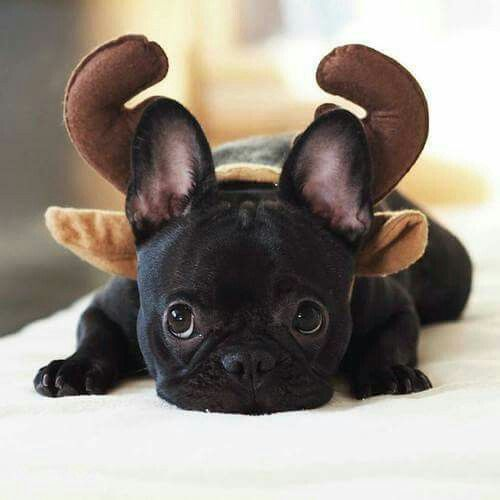 picture of a cute bulldog disguised blog