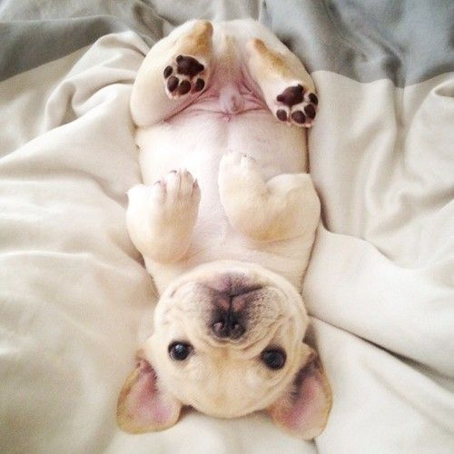 bulldog cute