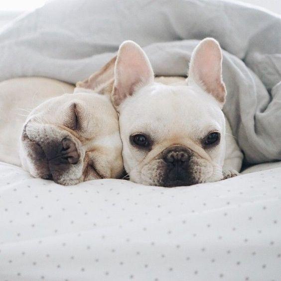 picture of 2 cute bulldogs blog