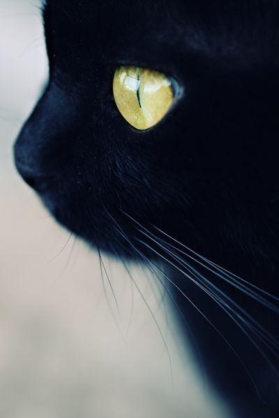 beautiful black kitty