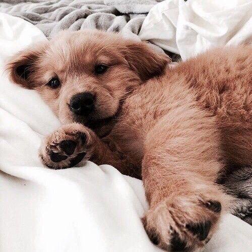 puppy labrador cute