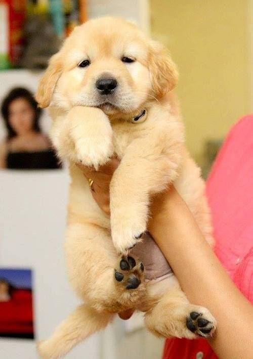 cute-puppy-labrador