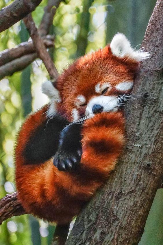 photo d'un bébé panda roux mignon