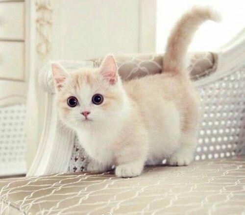 photo d'un bébé chat blanc crème tres mignon