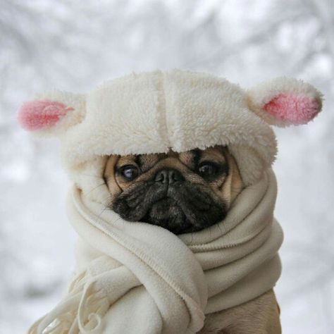 cute pug on Pinterest