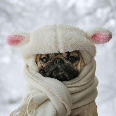 cute pug on Pinterest