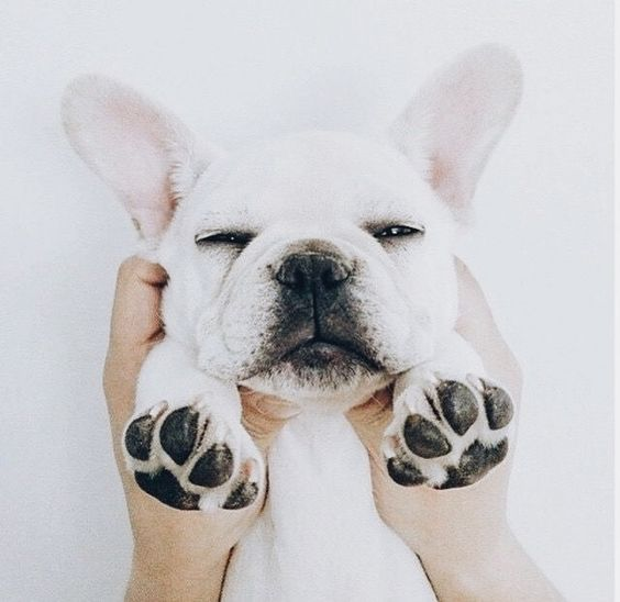 cute puppy french bulldog on Pinterest
